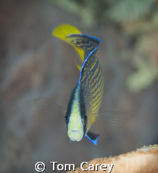 Splendid dottyback Pseudochromis splendens are common in ... by Tom Carey 